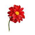 Dahlia flower vector illustration  hand drawn Royalty Free Stock Photo