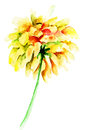 Dahlia flower yellow watercolor illustration Royalty Free Stock Photography