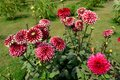Dahlia flowers in the garden Royalty Free Stock Photography