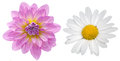 Dahlia and marguerite clipping image of Royalty Free Stock Photos