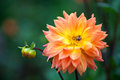 Dahlia orange and yellow flowers in garden full bloom closeup Royalty Free Stock Photo