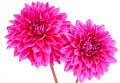 Dahlia, Pink Colored Flowers W...