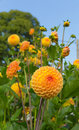 Dahlia ryecroft delight yellow flower round bloom in a garden Stock Photos