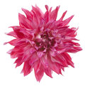 Dahlia studio shot of pink colored flower isolated on white background large depth of field dof macro symbol of elegance dignity Royalty Free Stock Photos