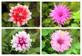 Dahlia or valley flowers collection set in different colors vibrant Royalty Free Stock Photography