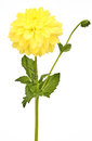 Dahlia yellow colored flower head with green stem Royalty Free Stock Photo