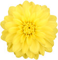 Dahlia flower yellow colored, Studio shooting Royalty Free Stock Photo