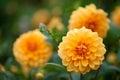 Dahlia yellow and orange flowers in garden closeup Royalty Free Stock Photo