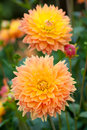 Dahlia yellow and orange flowers in garden full bloom closeup Stock Photography