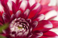 Dahlias Royalty Free Stock Image