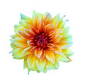 Dahlias flowers yellow Isolated on White Background Royalty Free Stock Photo