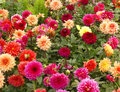 Dahlias in nursery garden Royalty Free Stock Photos