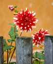 Dahlias and a pen Royalty Free Stock Photo