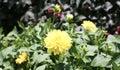Dahlias Yellow Blossom Flowers