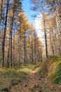 Dahurian larch forest Royalty Free Stock Images