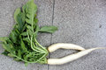 Daikon white radish mooli raphanus sativus root vegetable with long lobed leaves and fleshy root up to cm long used as salad Royalty Free Stock Image