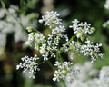 Dainty daucus carota the white flowers of also known as wild carrot or queen annes lace Stock Photos