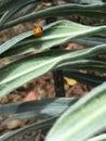 Dainty ladybug bug crawling on silvery Stock Photo