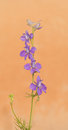 Dainty purple larkspur flowering against light orange background Stock Photography
