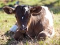 Dairy Calf Enjoying the Sunshine Royalty Free Stock Photo