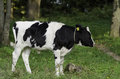 Dairy Calf Royalty Free Stock Photo
