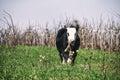 Dairy Calf Royalty Free Stock Photo