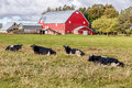 Dairy cattle and a red barn on a farm Royalty Free Stock Images