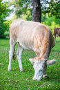 Dairy cow on green grass field Royalty Free Stock Photography