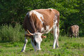 Dairy cow on green grass field Royalty Free Stock Images