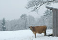 Dairy cow in the snow a jersey stands outside her shelter during a storm with a covered field behind her location bedford new Royalty Free Stock Image