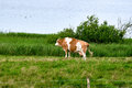 Dairy cow staring over a lake Royalty Free Stock Photo