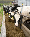 Dairy Cows Belly Up to the Trough Royalty Free Stock Photos
