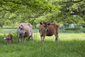 Dairy cows in field with calf Royalty Free Stock Photo