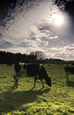 Dairy cows in a meadow Royalty Free Stock Photo
