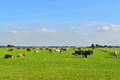 Dairy cows in pasture Royalty Free Stock Photo