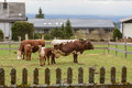 Dairy cows on pasture Royalty Free Stock Photo