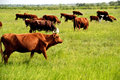 Dairy Cows in Pasture. Vibrant colors. Royalty Free Stock Photo