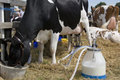 Dairy Farming - Milking a cow Royalty Free Stock Photo