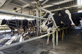 Dairy industry cow milking facility peria nz july holstein cows in a on july the income from farming is now a major part of the Stock Photos