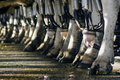 Dairy industry cow milking facility peria nz july row of cows legs in a on july the income from farming is now a major part of the Stock Images