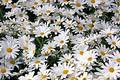 Daisies 69 Royalty Free Stock Images