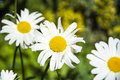 Daisies and the ant big beautiful close up Royalty Free Stock Photography