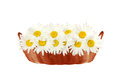 Daisies in the basket isolated on white background Stock Images