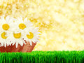 Daisies in basket season specific Stock Image