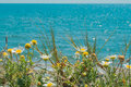 Daisies on the beach nera sea Royalty Free Stock Images