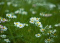 Daisies beautiful white in the grass Stock Photos