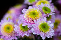 Daisies blooming purple close up Royalty Free Stock Photography