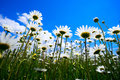 Daisies on blue sky background . Royalty Free Stock Photo