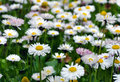 Daisies Blurred Background Royalty Free Stock Photo