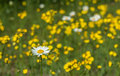 Daisies and buttercups a single daisy stands predominate among a field of in ontario canada Stock Photos